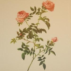 Beautiful vintage print after the legendary painter of Roses, P J Redouté, titled, Rosa Sepium flore submultiplia, Rosier des hayes a fleurs semi-doubles.
