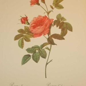 Beautiful vintage print after the legendary painter of Roses, P J Redouté, titled, Rosa Inermis, Rosier Turbine sans épines.