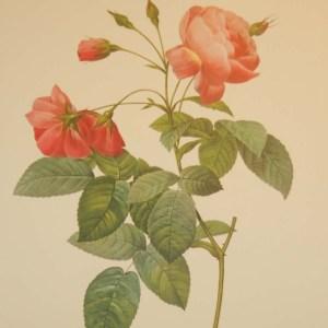 vintage botanical print after the legendary painter of Roses, P J Redouté, titled, Rosa Reclinata flore sub multiplia.