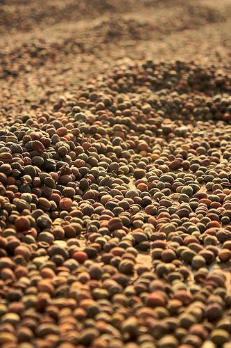 Sun Drying Coffee fruits in Antigua Guatemala
