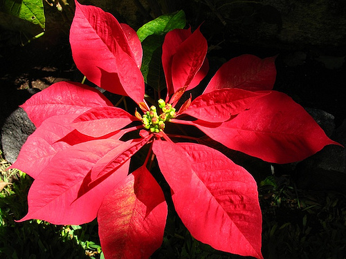 Christmas Colors: Poinsettia Red