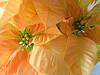 Yellow Guatemalan Poinsettias Wallpaper by Rudy Girón