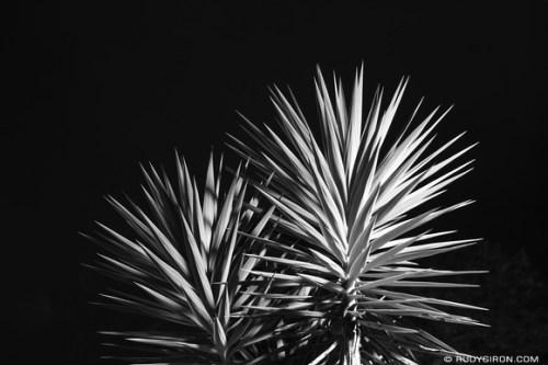 Rudy Giron: AntiguaDailyPhoto.com &emdash; Palo de Izote in Black and White
