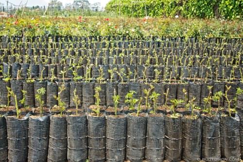 Rudy Giron: 1305 Cultivo de flores &emdash; Pilones de rosas
