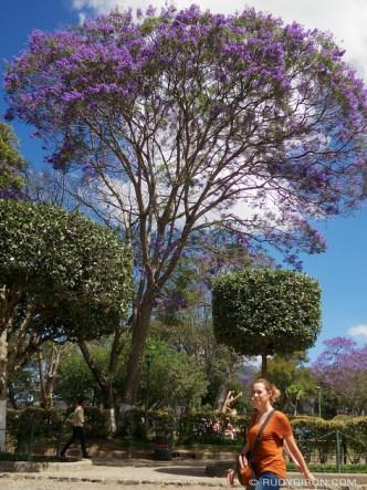 © Jacaranda Trees at Parque Central, Antigua Guatemala by Rudy Giron