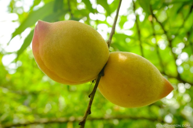 Rudy Giron: Antigua Guatemala &emdash; Guatemalan Peaches Are in Season Now