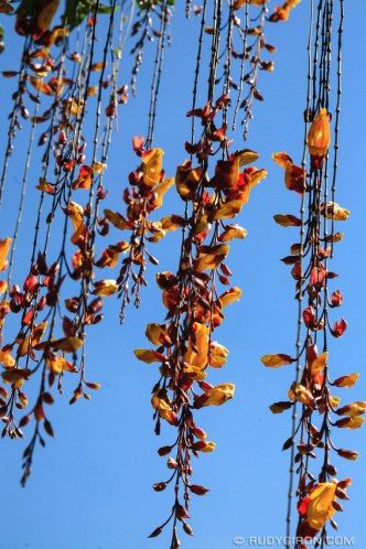 Colorful Tumbergias Vines against blue sky BY RUDY GIRON