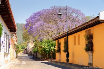 Jacaranda Trees Are Blooming Now in Antigua Guatemala BY RUDY GIRON