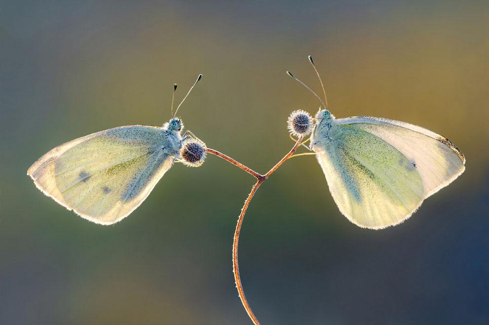 Πεταλούδες Pieris brassicae αναπαύονται σε ένα φυτό, περιμένοντας να βγει ο  ήλιος. (© Πέταρ Sabol, Κροατία)