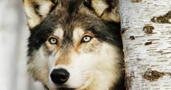 wolf-alamy