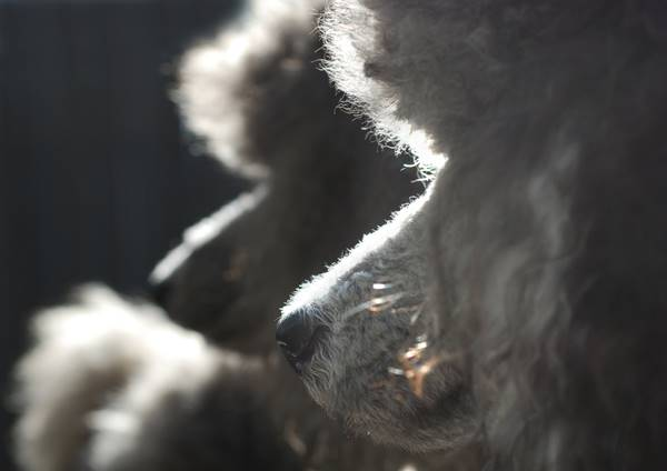 wolfdoganimal