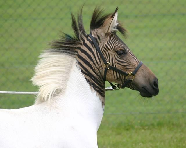 01_zebra_pferd