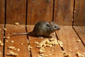 Slippe af med mus