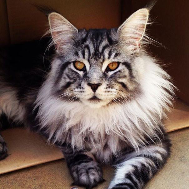 55 фотографий кошек породы мейн-кун, которые убедят вас, что ваша кошка просто карлик
