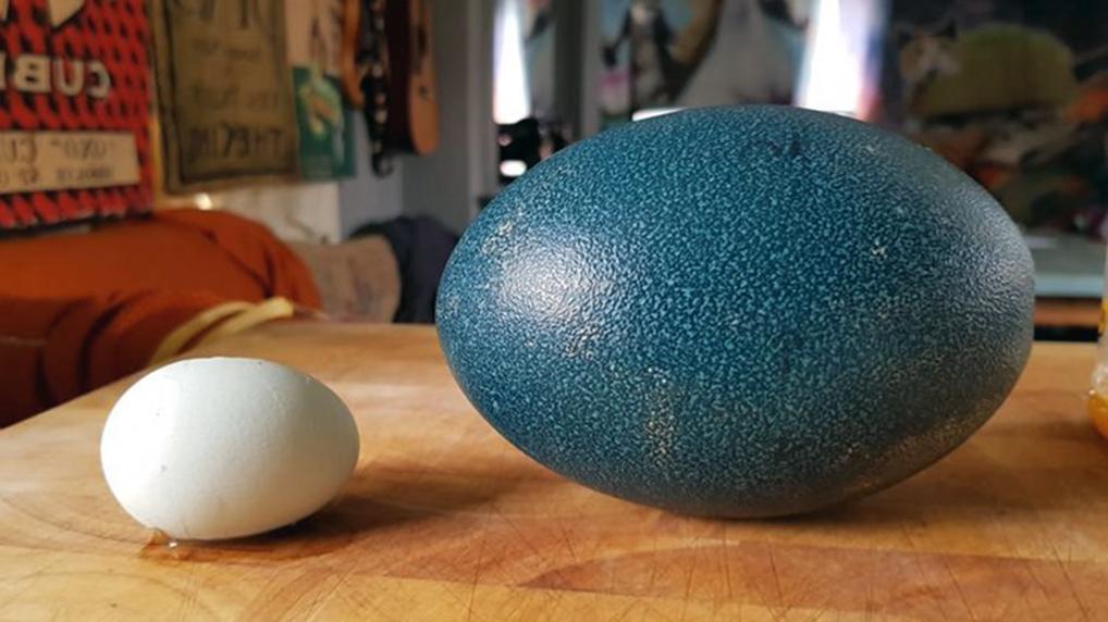 Когда фермер покупал страусиные яйца, он и не знал толком, что из этого выйдет