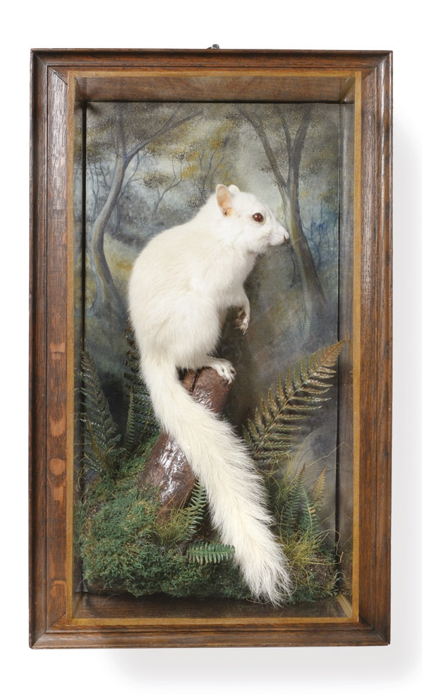 A wall cased albino grey squirrel by A.J. Armitstead