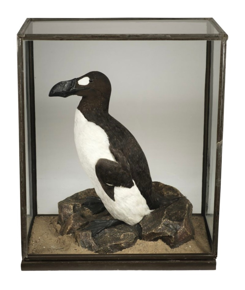 Great Auk taxidermy replica