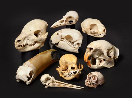 The collection of animal skulls in sale