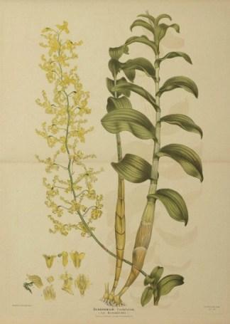 Australian - Fitzgerald Orchids