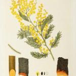 Australian - Forest Flora SA