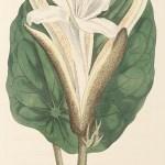 World - Nonindigenous - Curtis's - Botanical Magazine