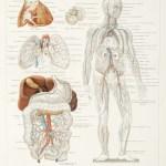 Anatomical Various