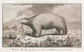 A White Bear, found in Captn. Cook's Last Voyage. - Antique Print from 1790