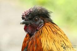 Pretty golden chicken