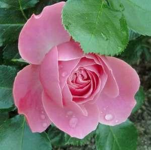En rosa ros till Carina