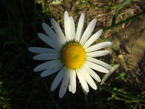 Daisy from Pixabay