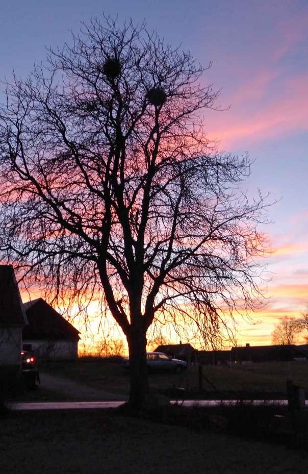 Kalt-kastanjeträd