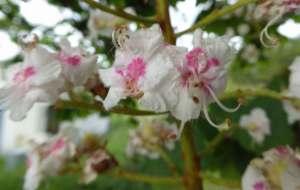 Kastanje-våren-4