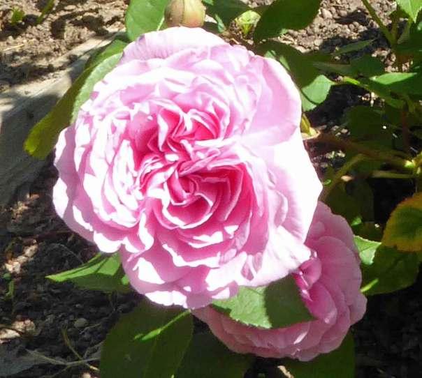 Rosa ros Gertrude Jekyll, förädlad av David Austin 1986