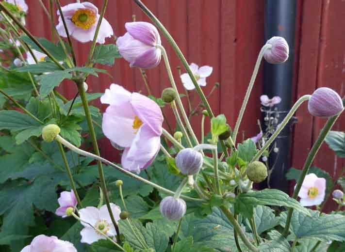 Blommande höstanemoner