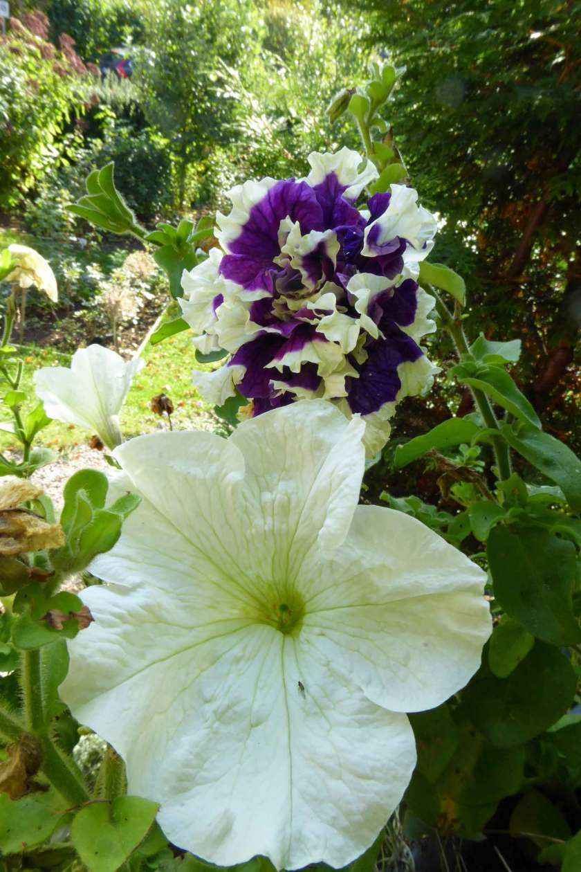 Vit Petunia Prism White och blå-vit Purple Pirouette, som doftar ljuvligt