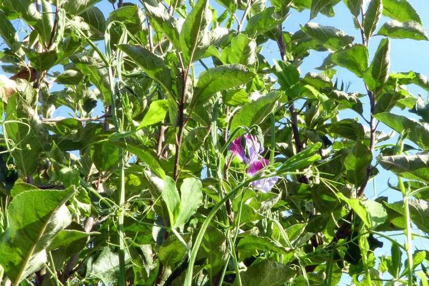 Luktärtor som klättrar i äppleträdet