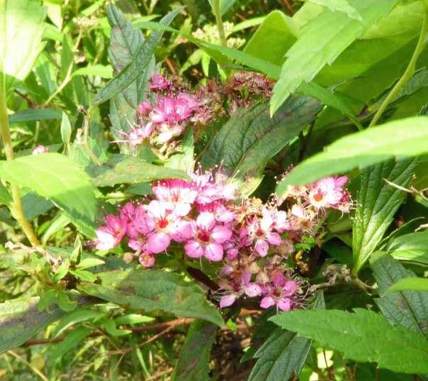Rosenspirea som blommar om