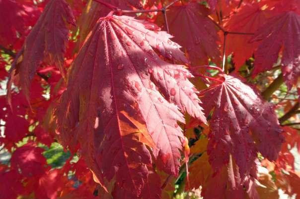 Japansk lönn Acer japonicum 'Indian summer'