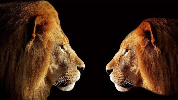 two lions facing each other - set your intention firmly