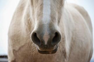 Palomino Pony Nose Closeup