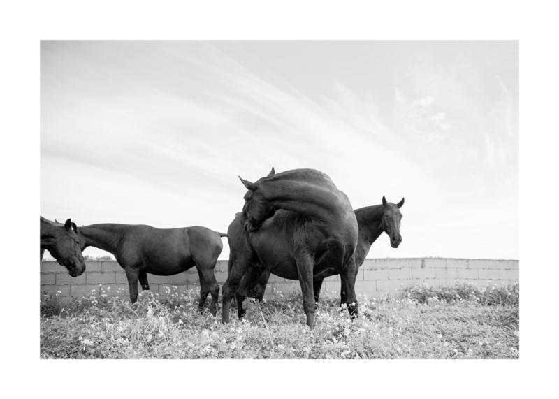 Menorquin Horse: #007
