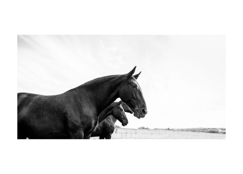 Menorquin Horse: #010