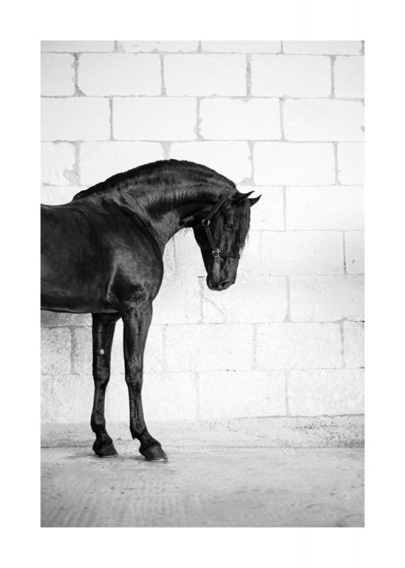 Menorquin Horse: #008