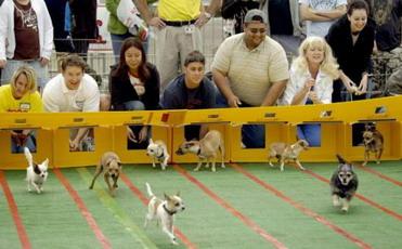 La corsa dei chihuahua