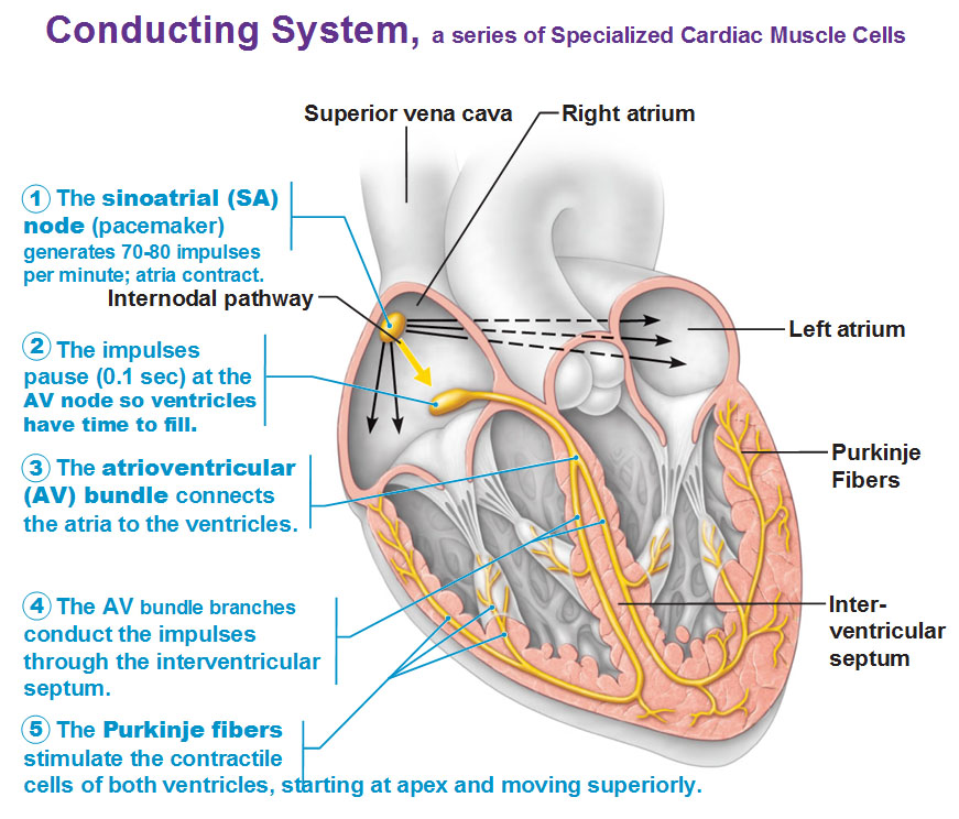 Image result for conducting system of the heart