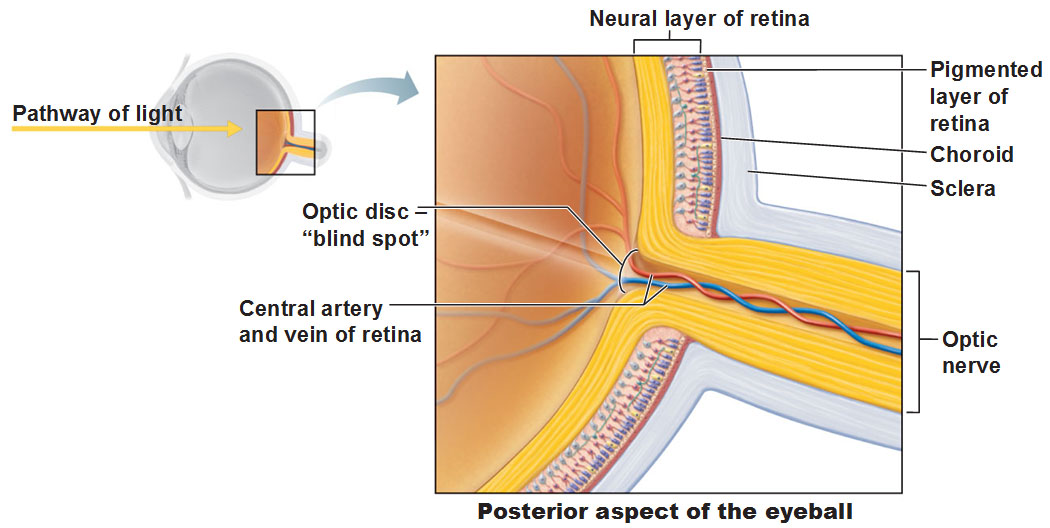 Image result for posterior aspect of the eyeball