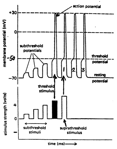 Subthreshold, Threshold and Suprathreshold Stimuli