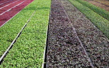 Idee de afaceri: cultivarea microplantelor