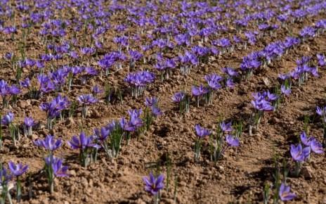 Se poate în România: un belgian cultivă în Banat șofran, cel mai scump condiment din lume
