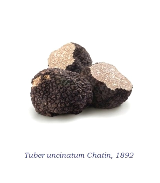 Tuber uncinatum: Sistematica, Etimologia, Habitat, Riconoscimento ...